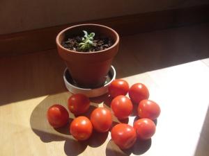 tomates al sol
